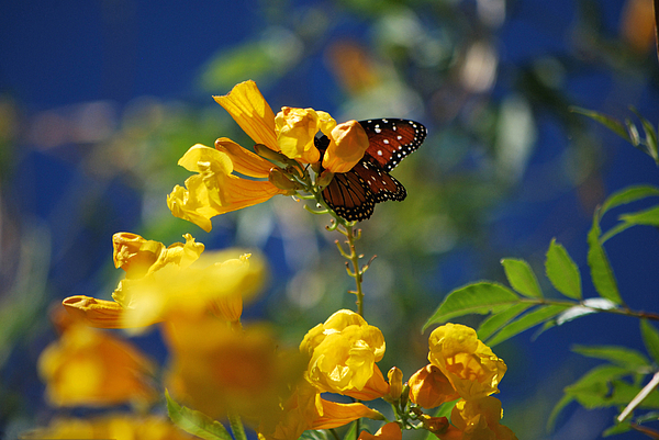 Butterfly Photograph - Butterfly Pollinating Flowers  by Donna Greene