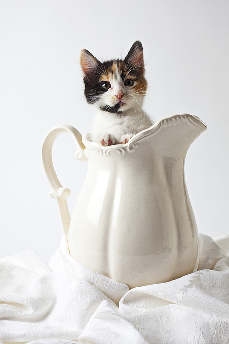 Calico Kitten In White Pitcher Photograph