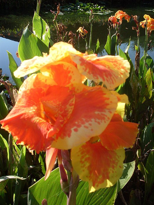 Canna Lily Photograph - Canna Lily Light by Warren Thompson