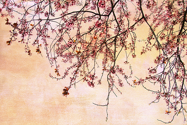 Cherry Blossoms Photograph - Canopy by Rebecca Cozart