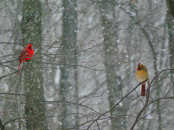 Male And Female Cardinals In Falling Snow Photograph - Cardinals In Snow by Serina Wells