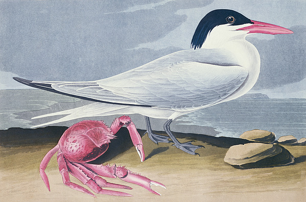 Cayenne Tern Painting