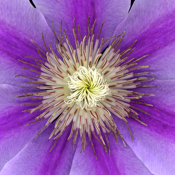 American Photograph - Clematis by Christopher Gruver