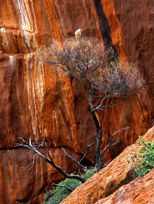 Ularu Photograph - Clinging To Life by Mike  Dawson