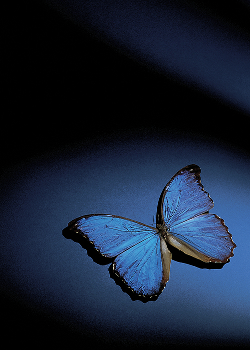 Close-up Of A Blue Butterfly Photograph