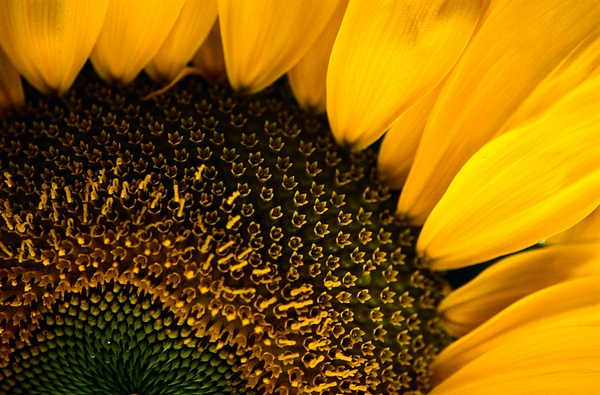 United States Photograph - Close-up Of A Sunflower by Todd Gipstein
