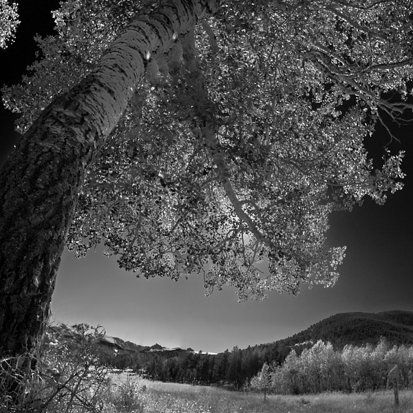 Colorado Aspen Black And White Photograph