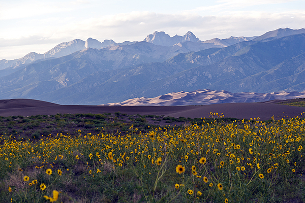 Colorado Style Landscape Sunflowers On The Sangre De Cristos Photograph