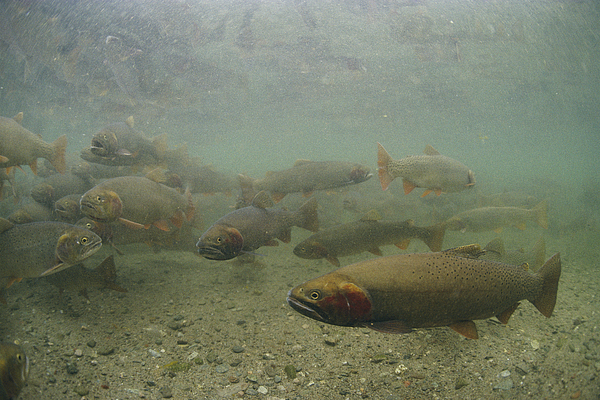 North America Photograph - Cutthroat Trout Swim by Michael S. Quinton