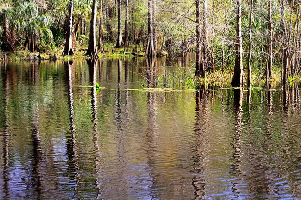 Cypress Trees Photograph - Cypress Trees Along The Hillsborough River by Carol Groenen