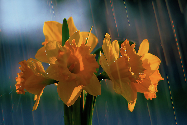 Photograph Photograph - Daffodils In The Rain by Terril Heilman