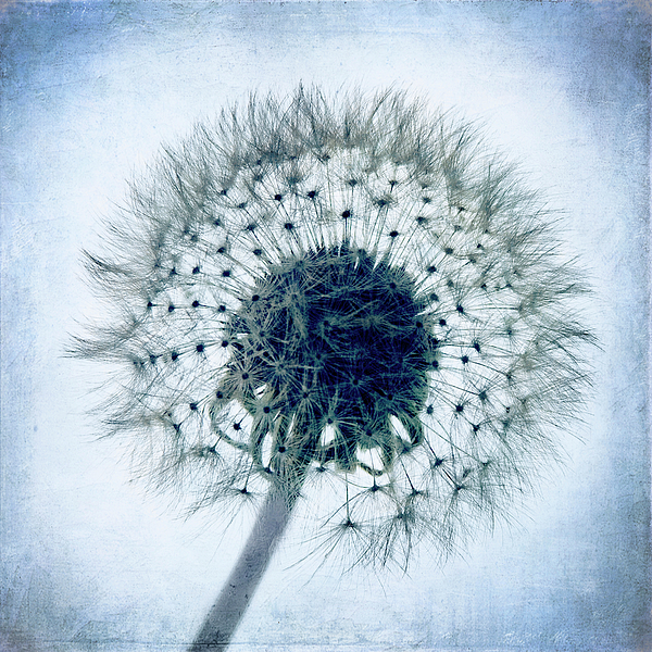 Blue Photograph - Dandelion In Blue by Tamyra Ayles