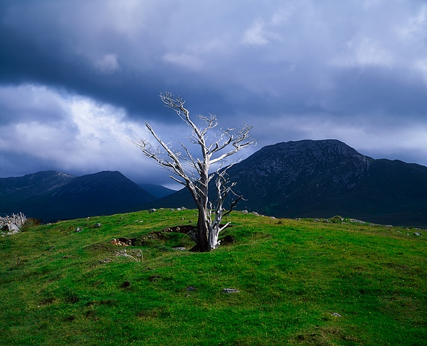 Atmospheric Photograph - Dead Tree, Connemara, Co Galway, Ireland by The Irish Image Collection