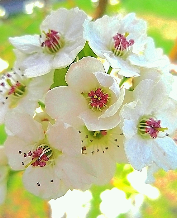 Delicate White Blossoms Photograph