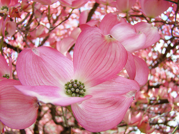 Dogwood Photograph - Dogwood Tree 1 Pink Dogwood Flowers Artwork Art Prints Canvas Framed Cards by Baslee Troutman