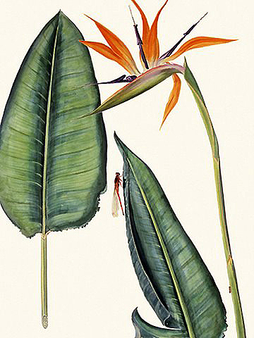Dragonfly And Strelitzia - Th09 Painting