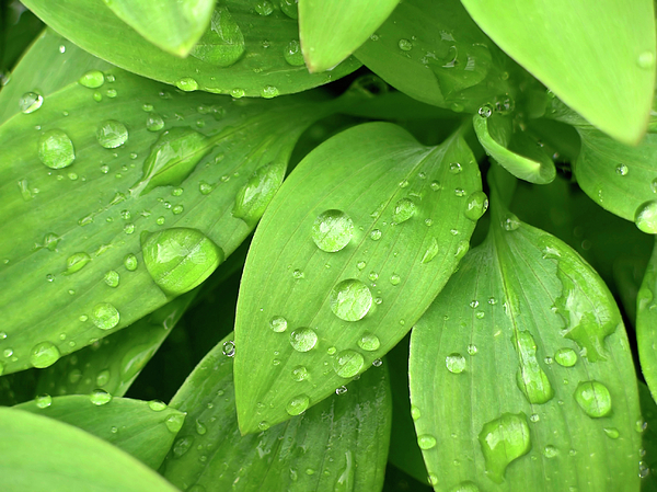 Drops On Leaves Photograph