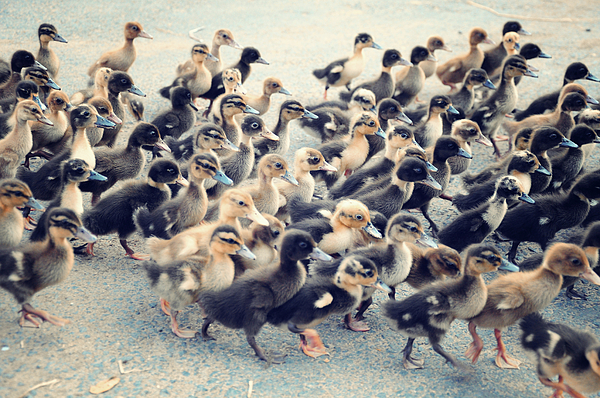 Ducklings Photograph
