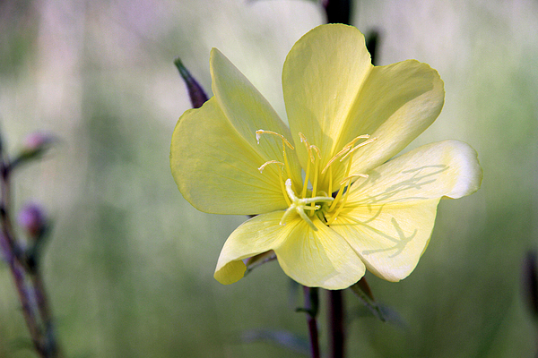 Flower Photography Photograph - Evening Primrose In The Morning by MH Ramona Swift