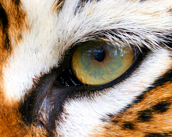 Tiger Photograph - Eye Of The Tiger by Helen Stapleton
