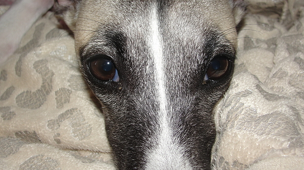 Dogs-animal-dogs-whippet-animals Photograph - Eyes Whippet by Marie-france Quesnel