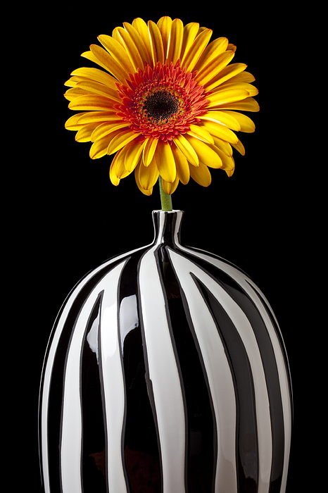 Daisy Flower Vase Petals Yellow Photograph - Fancy Daisy In Stripped Vase  by Garry Gay