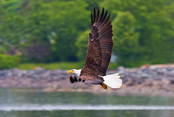 Eagle Photograph - Fishing In The Rain by Mike  Dawson
