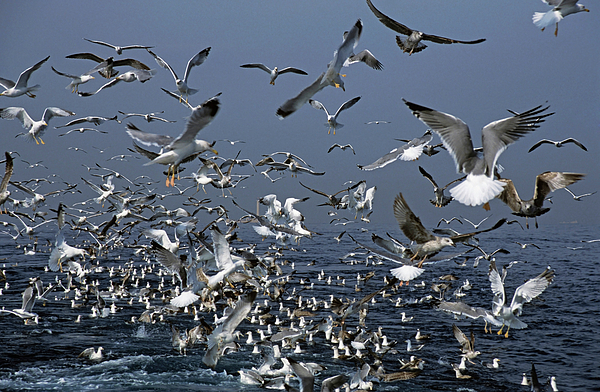 Chaos Photograph - Flock Of Seagulls In The Sea And In Flight by Sami Sarkis