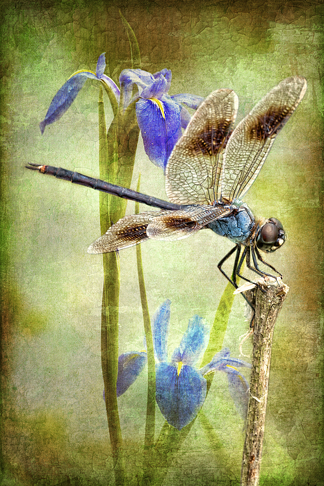 Four Spotted Pennant Dragonfly Photograph - Four Spotted Pennant And Louisiana Irises by Bonnie Barry