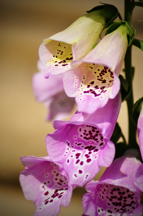 Fox Gloves Print by Bill Cannon
