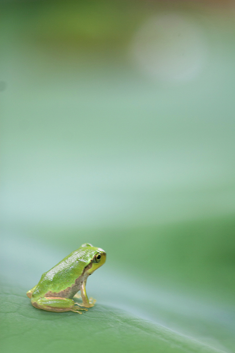 Vertical Photograph - Frog On Leaf Of Lotus by Naomi Okunaka