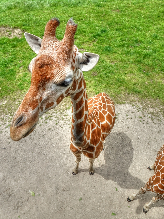 Giraffes Point Of View Photograph