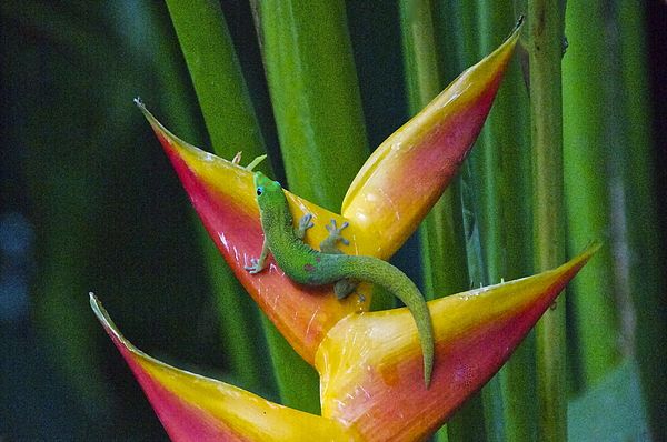 Photography Photograph - Gold Dust Day Gecko by Sean Griffin