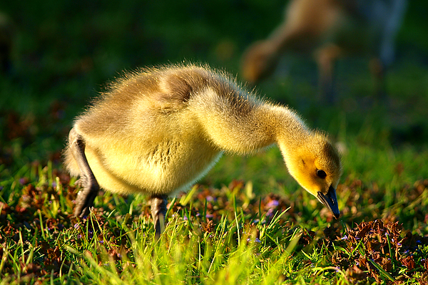 Animal Avian Baby Bird Birds Canada Children Geese Goose Gosling Little Migrate Migratory Nature New Pond Spring Water Wild Wildlife Wildness Young Small Little Art Close Close-up Macro Lovely Art Action Freeze Capture Food Looking Look Search  Photograph - Gosling In Spring by Paul Ge