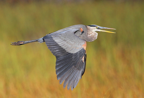 Heron Photograph - Great Blue Heron In Flight by Bruce J Robinson