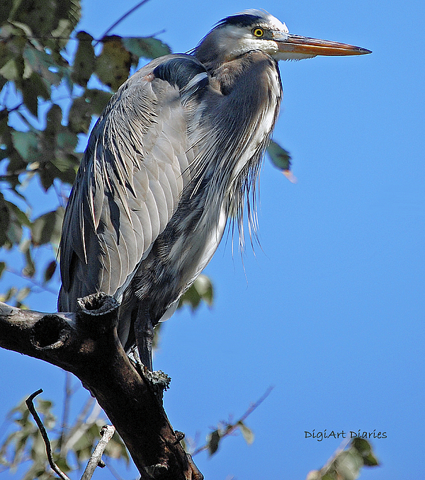 Heron Digital Art - Great Blue Heron Perched by DigiArt Diaries by Vicky B Fuller