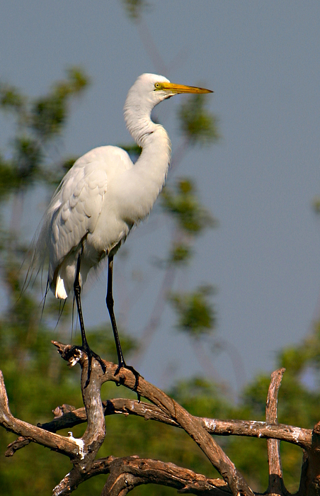 Great white egret pose photograph by shari jardina for Jardina