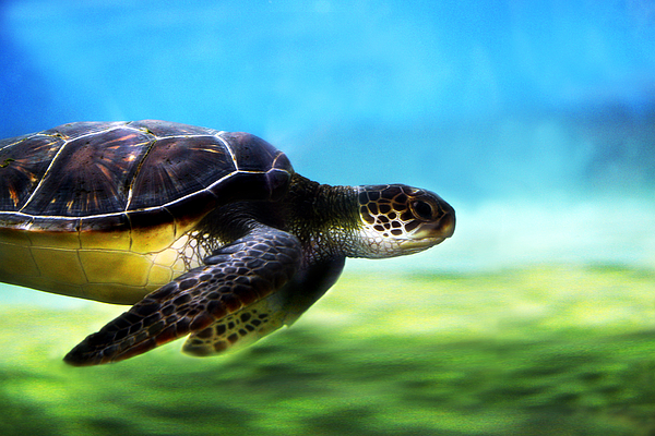 Green Photograph - Green Sea Turtle 2 by Marilyn Hunt
