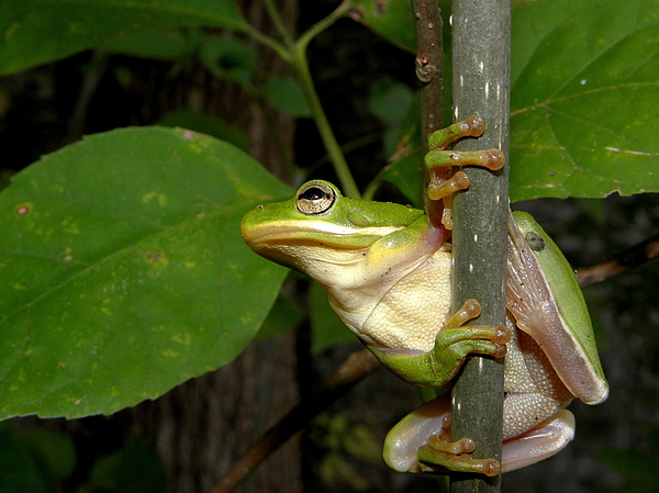 Green Tree Frog Photograph - Green Tree Frog II by Griffin Harris