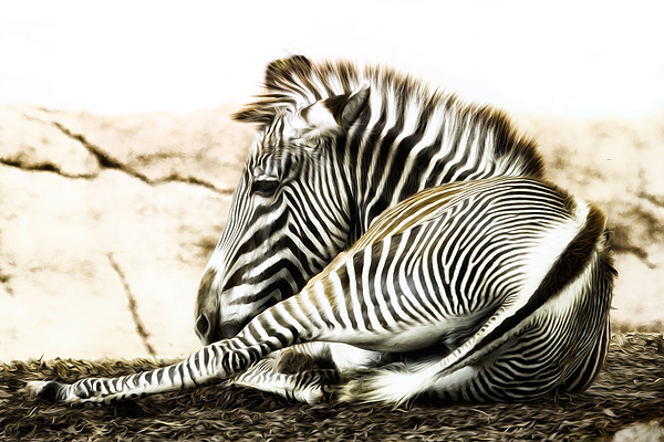 Zebra Photograph - Grevys Zebra by Bill Tiepelman