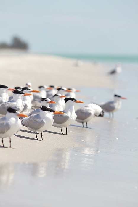 Vertical Photograph - Group Of Terns On Sandy Beach by Angela Auclair