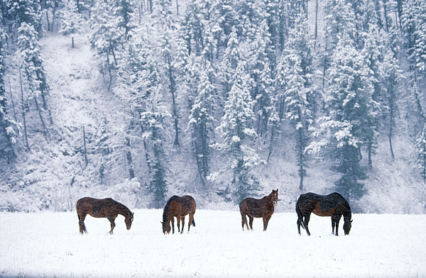 Fauna Photograph - Horses In The Snow by Alan and Sandy Carey and Photo Researchers