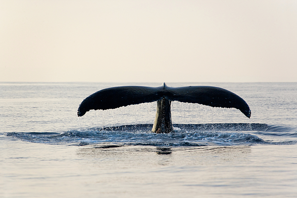 Horizontal Photograph - Humpback Whale Fluke by M Sweet
