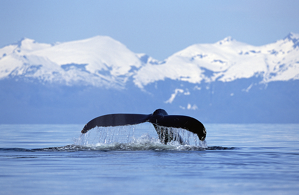 Mp Photograph - Humpback Whale Megaptera Novaeangliae by Konrad Wothe