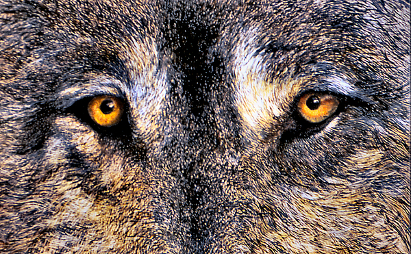 Wolf Eyes Print - Just Watching Wolf by JoLyn Holladay