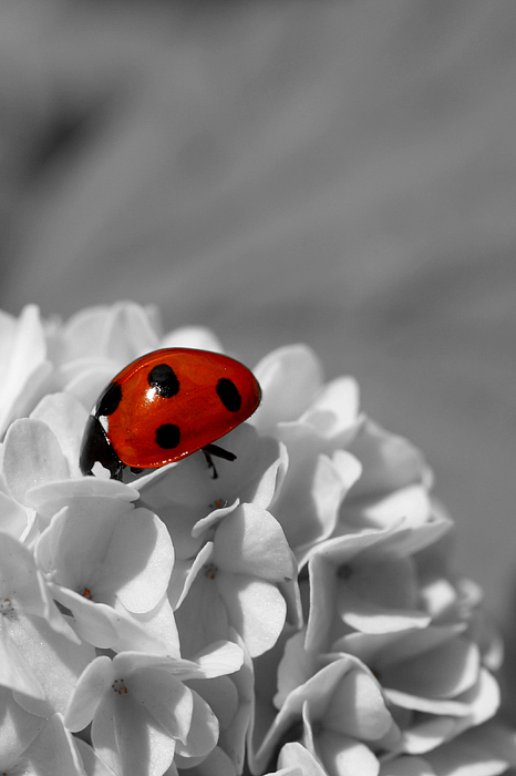 Ladybird Photograph - Lady Bug Sc by Martina Fagan