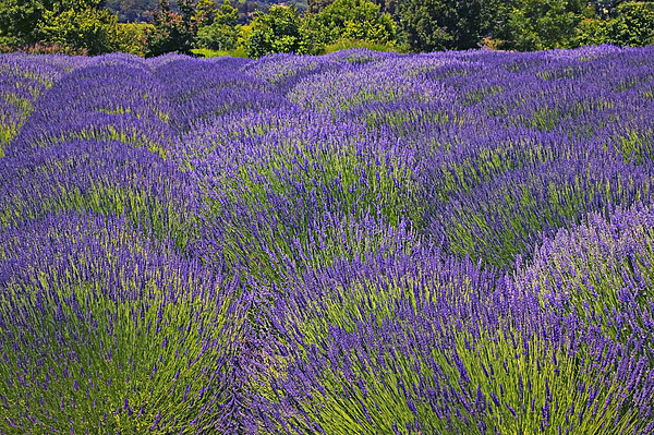 Lavender Photograph - Lavender Field by Garry Gay
