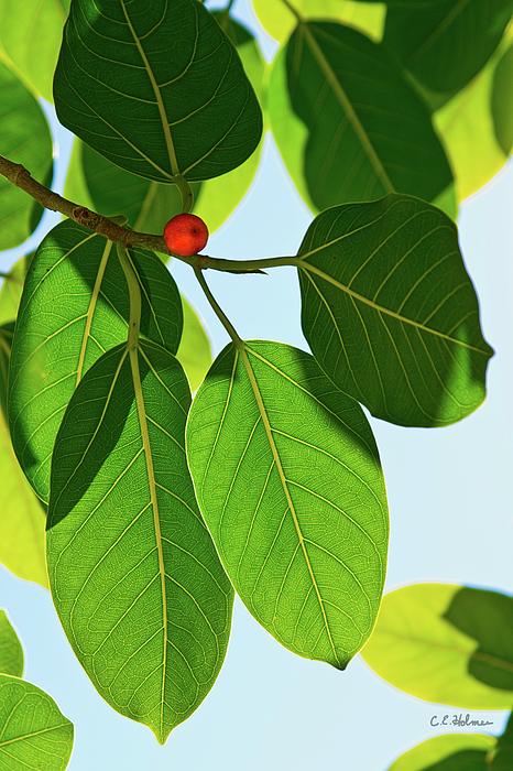 Leaves Of The Banyan Photograph - 560.2KB