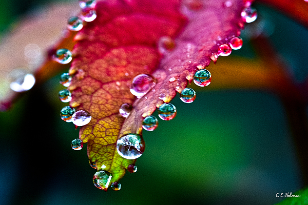 Flora Photograph - Liquid Beads by Christopher Holmes
