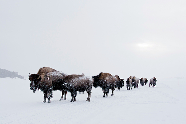 Bison Buffalo American Endangered Species Extinction Recovery Yellowstone Snow Cold Winter  Photograph - Long Brown Line by D Robert Franz